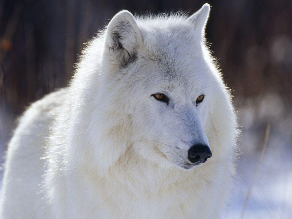 Якутии было истреблено всего 730 волков