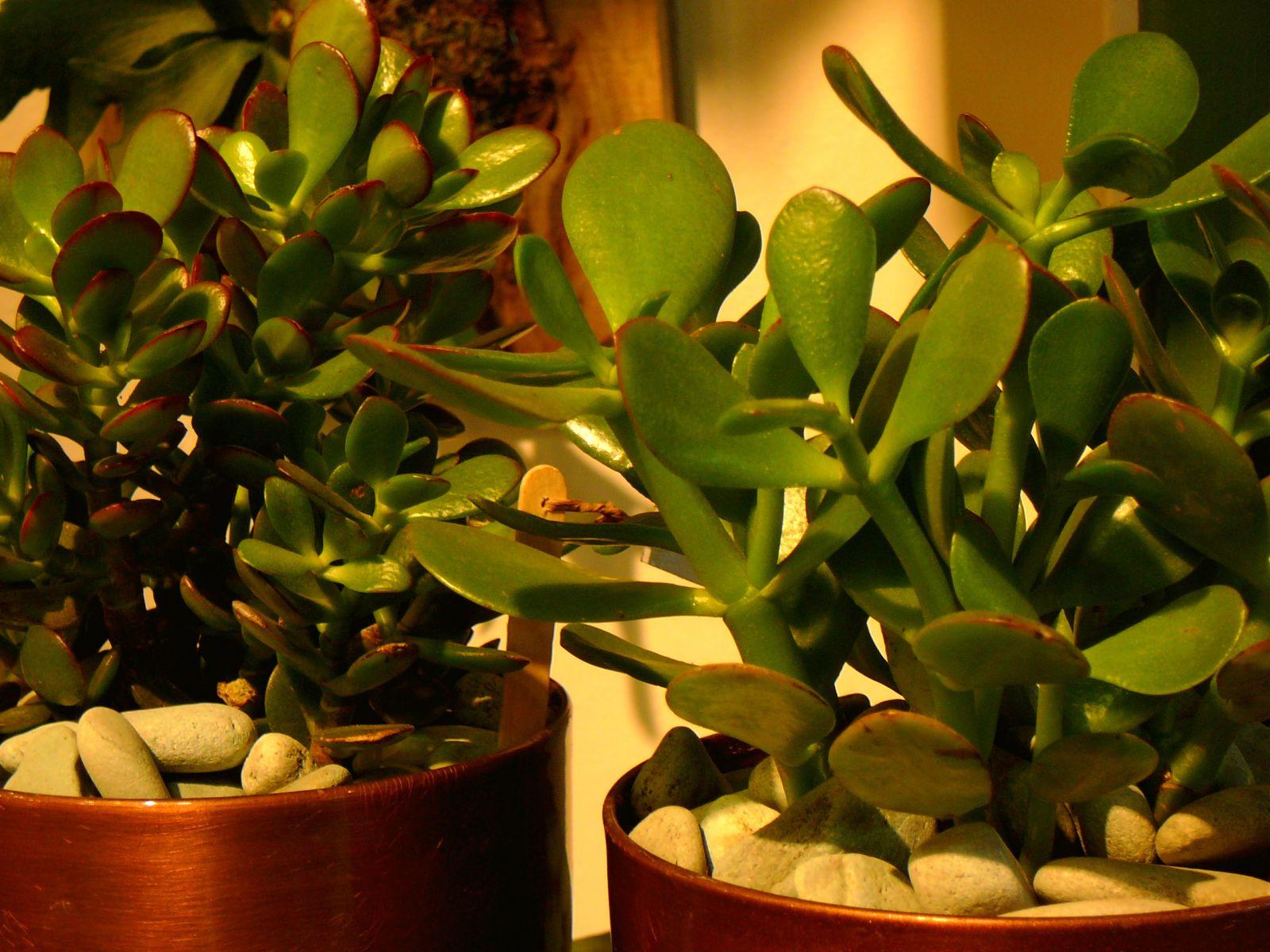 комнатные растения приносящие деньги фото вышить целую картину