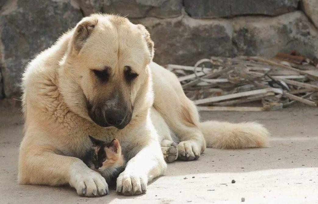 Алабай любопытных медведей не жалует - Газета Труд