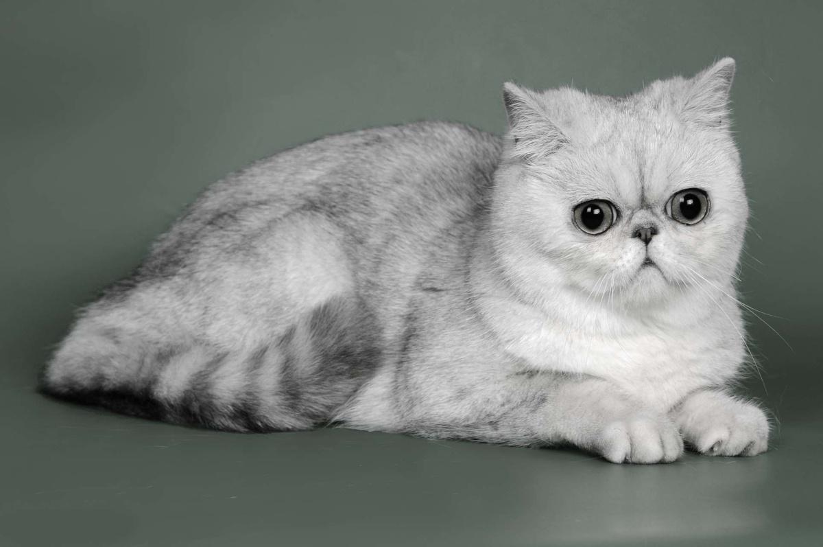 плюшевые кошки порода фото только некоторые комплектующие