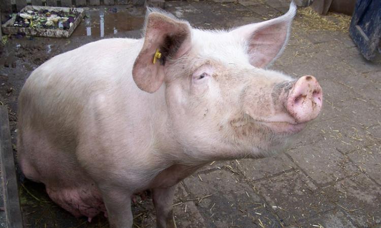 секс свиней фото:
