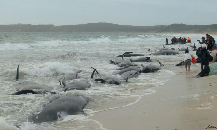 В Канаде 16 черных дельфинов выбросились на побережье