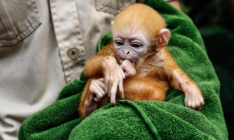 ВНовосибирском зоопарке родилась рыжая обезьяна-очкарик
