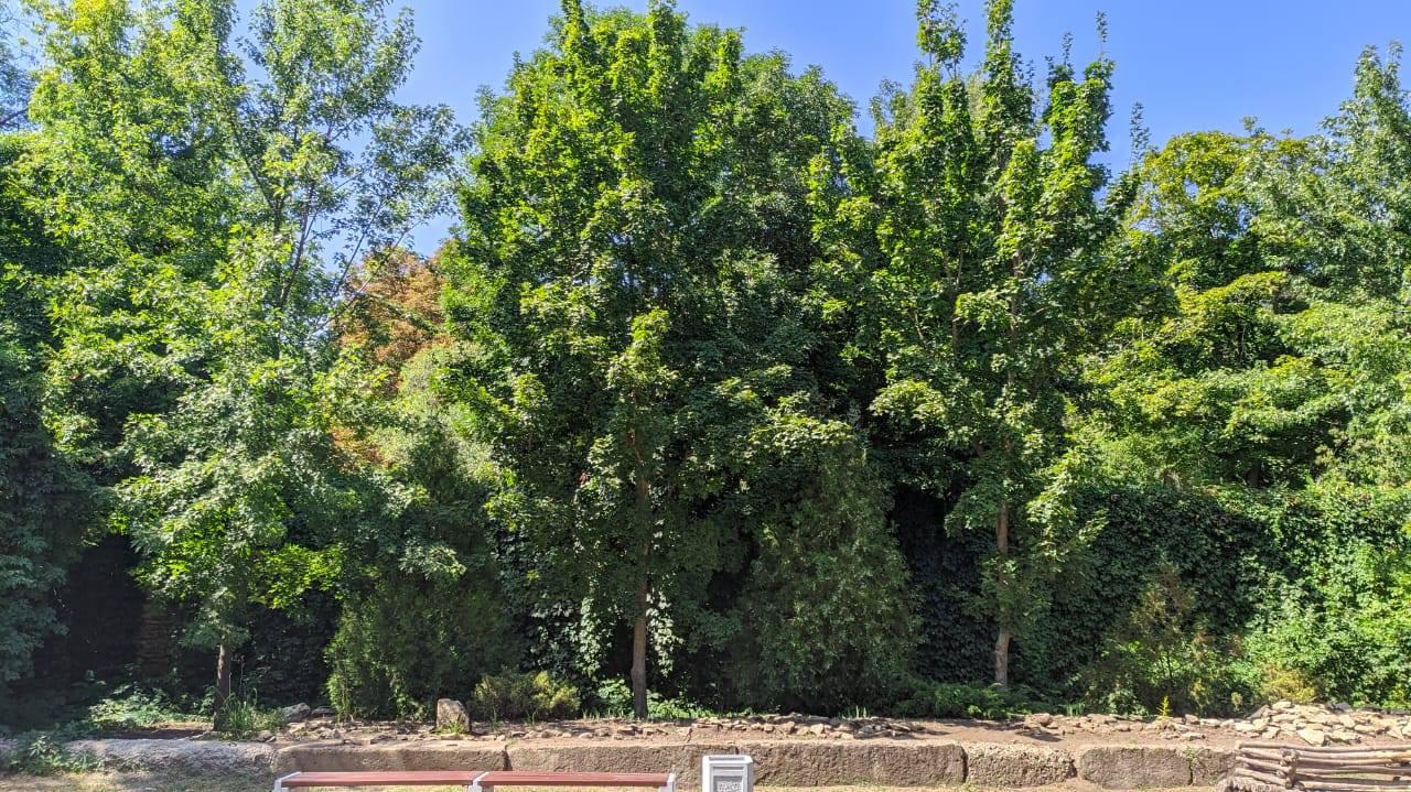 Деревья, которые стоит посадить у дома - клен