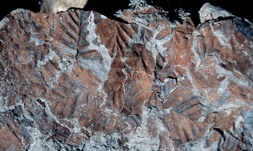 Буковые листья эпохи плиоцена - вернутся на Антарктиду