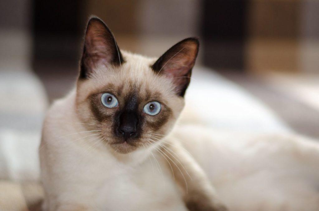 агрессивные породы кошек