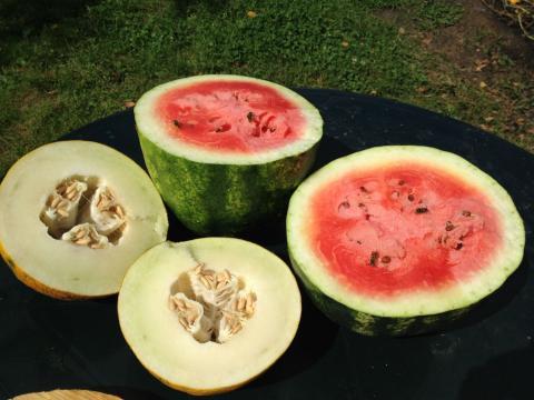 Дыня и арбуз - это не фрукты, и не ягоды, у них иное происхождение