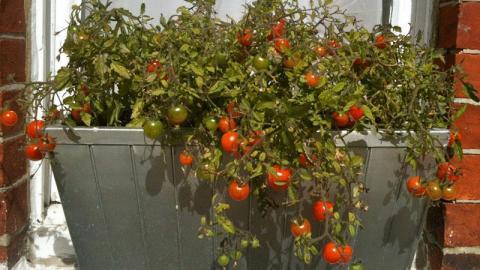 Ученые нашли способ выращивать огурцы и помидоры везде, где удобно