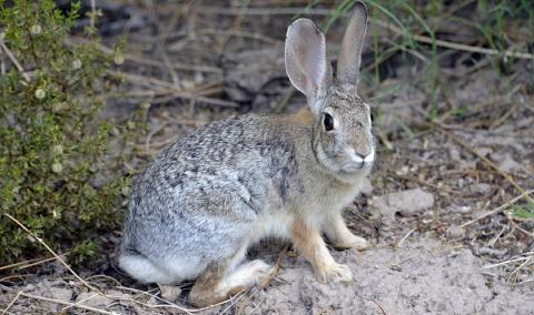 В Китае охотник заразился бубонной чумой от мяса дикого кролика