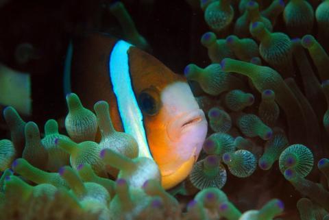 Знаменитые рыбы-клоуны светятся и меняют цвет