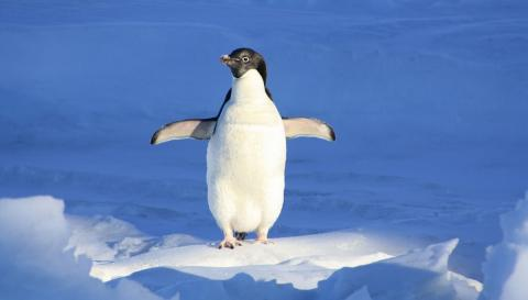 Остаться в живых: пингвин едва не попал в пасть морского леопарда