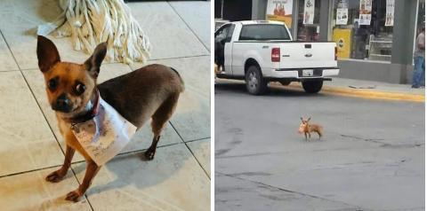 Мексиканец успешно отправил чихуахуа в магазин, чтобы не нарушать карантин
