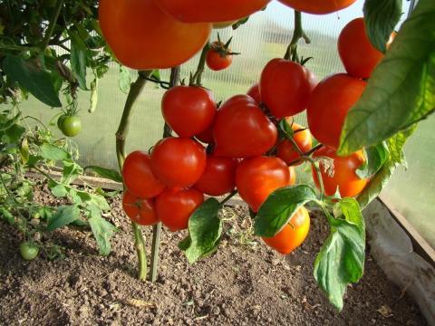 Выращивание помидоров в августе в теплице: уход и подкормки для рекордного урожая в конце лета