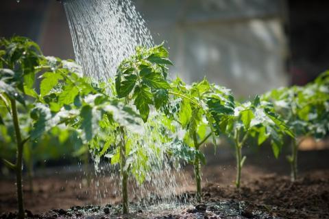 Схема подкормки помидоров, чтобы они были крупные и созревали быстрее