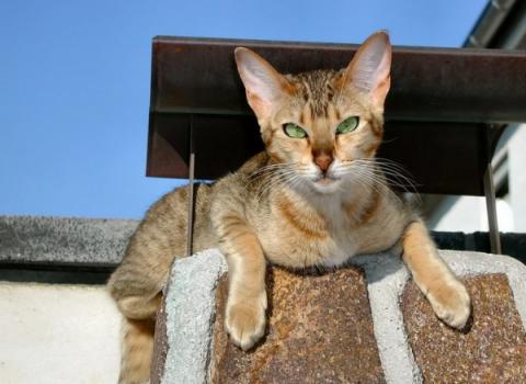 Кошкотерапия: какие породы кошек лечат людей, как помогают человеку коты и кошки, фото