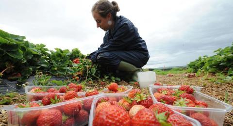 сбор ягоды в Великобритании картинка