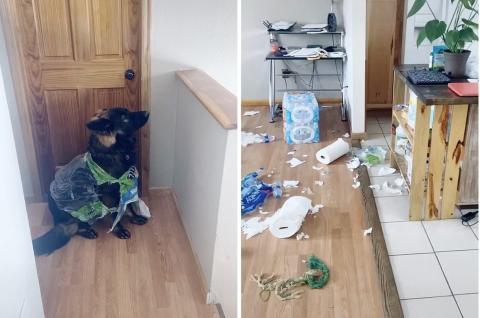 Собака  уничтожила «стратегические» запасы туалетной бумаги у американки