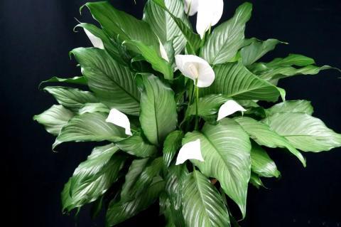 Комнатные растения не очищают воздух, это миф - ученые