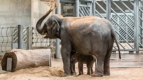 В зоопарке Ростова родился азиатский слонёнок