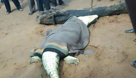 В брюхе огромного крокодила нашли останки 8-летнего мальчика