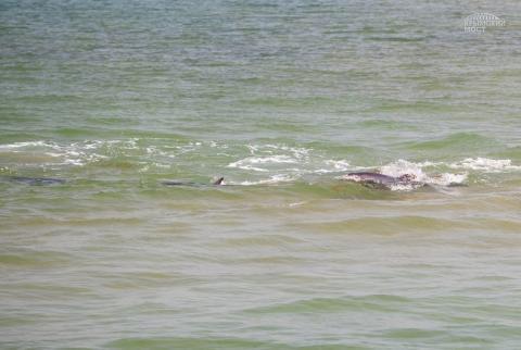 Строительство моста в Крыму привлекло дельфинов в Керченский пролив