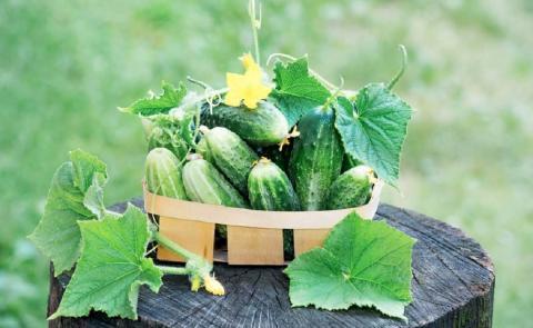 Как получить максимальный урожай огурцов: суперподкормки, которые омолодят плети и продлят сезон плодоношения