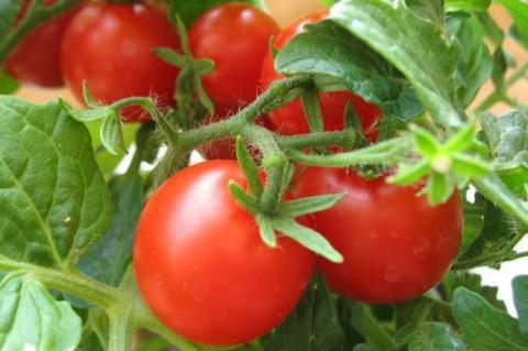 Когда высаживать помидоры и перец в открытый грунт в 2018 году: благоприятные дни по лунному календарю