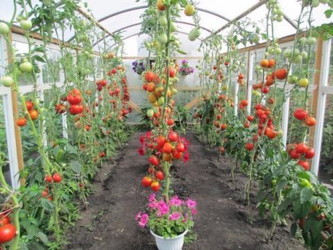 Рассада помидоров: когда высаживать рассаду томатов в открытый грунт в мае 2017
