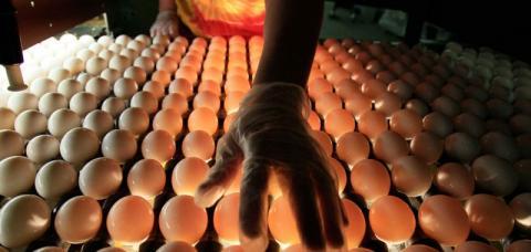 Старался как мог: голландец узнал, сколько куриных яиц помещается в заднем проходе