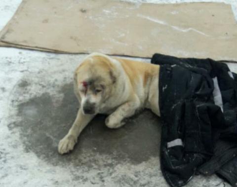 В Волгограде пытаются спасти гигантскую собаку, сбитую машиной