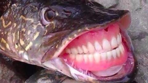 Интернет шокировала щука с человеческими зубами