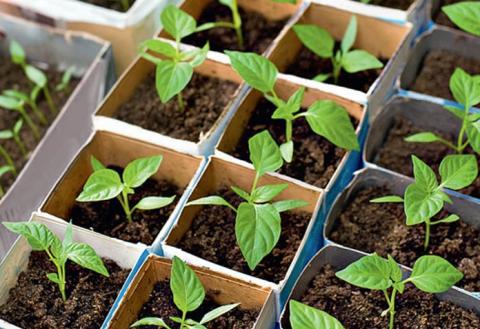 Когда сажать рассаду перца в 2018 году: благоприятные дни, сроки выращивания