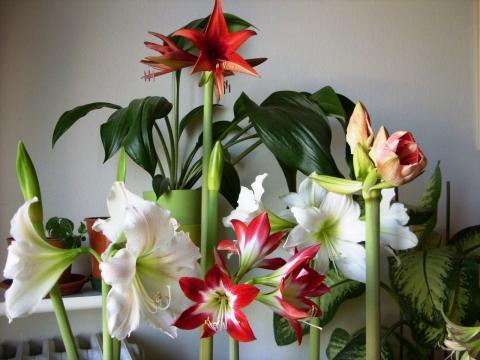 Комнатные цветы, которые выделяют токсины и вызывают головную боль