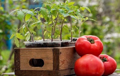 Когда сеять рассаду томатов в 2019 году: благоприятные дни по лунному календарю, сроки выращивания