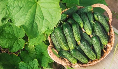 Огурцы в сентябре: секреты позднего посева, дающего обильный урожай
