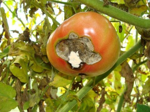 Вершинная гниль на томатах: как бороться, чем лечить, эффективные способы борьбы с вершинной гнилью на помидорах