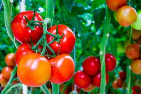 Как выбрать семена томатов на рассаду: правила выбора урожайных сортов помидоров