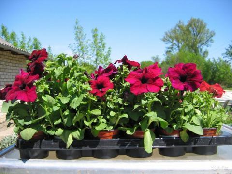 Когда сеять петунию в 2019 году для раннего цветения: благоприятные дни по лунному календарю, сроки выращивания