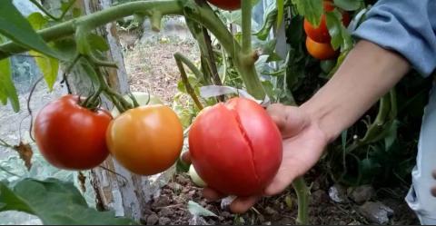 Почему лопаются помидоры на кустев открытом грунте: как избежать растрескивания плодов томатов при созревании