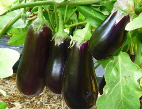 Когда сеять баклажаны на рассаду в 2019 году: благоприятные дни по лунному календарю, сроки выращивания