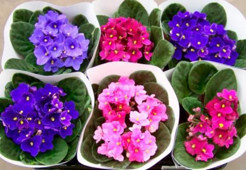 Комнатные цветы с сильной энергетикой: как воздействует фиалка на дом в зависимости от окраса