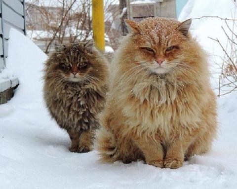 Пушистые любимцы: самые большие коты в мире