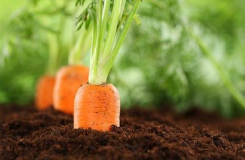 Когда сажать морковь под зиму в 2018 году: благоприятные дни по лунному календарю