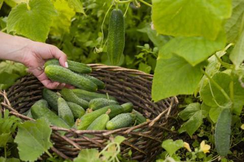 Убойный урожай огурцов всю осень: верный способ продлить плодоношение огурцов до первых заморозков