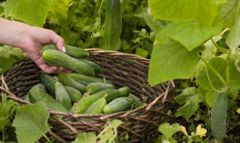 Огурцы можно собирать весь август: рецепты секретных подкормок для омоложения огуречных плетей и продления плодоношения