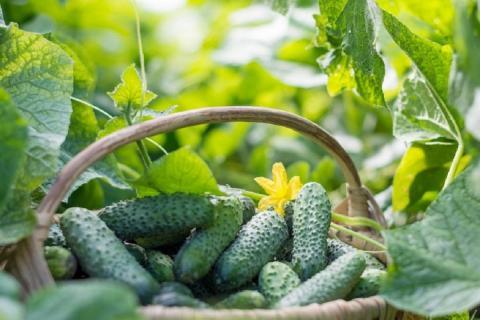 Финальная подкормка огурцов с использованием простых средств, которая поможет продлить плодоношение и собрать обильный урожай