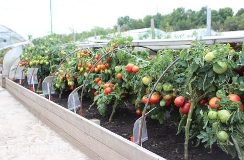 Как защитить помидоры от резкого похолодания: несколько практичных и действенных способов по спасению томатов в холодную погоду