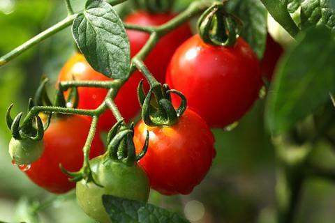 Как защитить помидоры от холодной погоды: маленькие хитрости помогут сберечь урожай