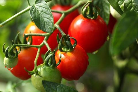 Секрет эффективной подкормки томатов для быстрого созревания: как ускорить созревание помидоров