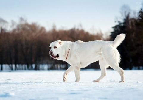 В Кыргызстане разводят породу собак-великанов
